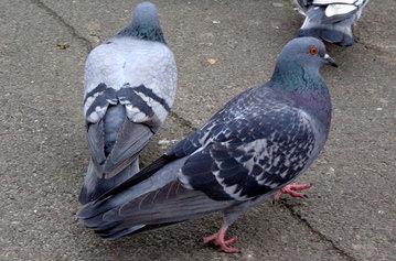Aplicar mesures per al control de la població de coloms, en cas que l'estudi que s'està realitzant confirmi que la població d'aus és elevada